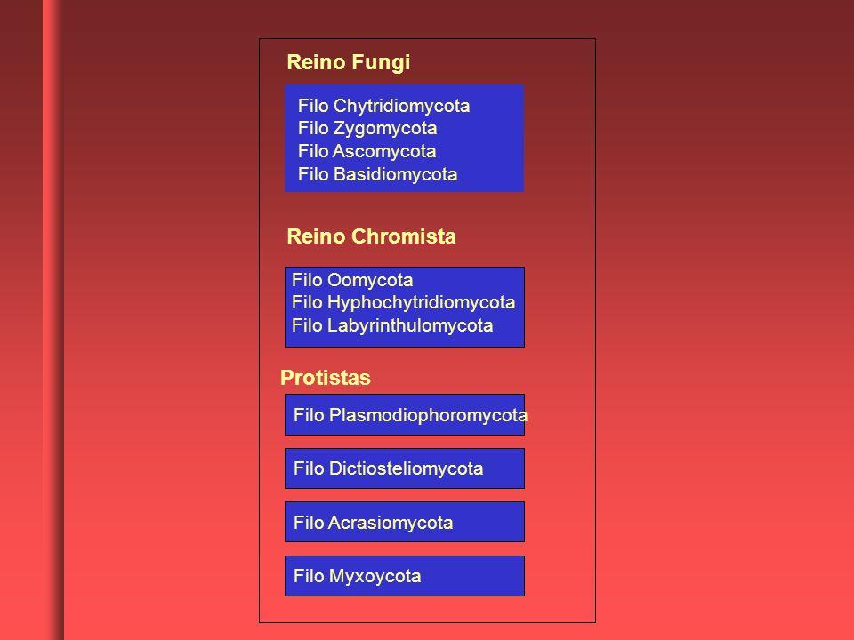 Reino Fungi Reino Chromista Protistas Filo Chytridiomycota