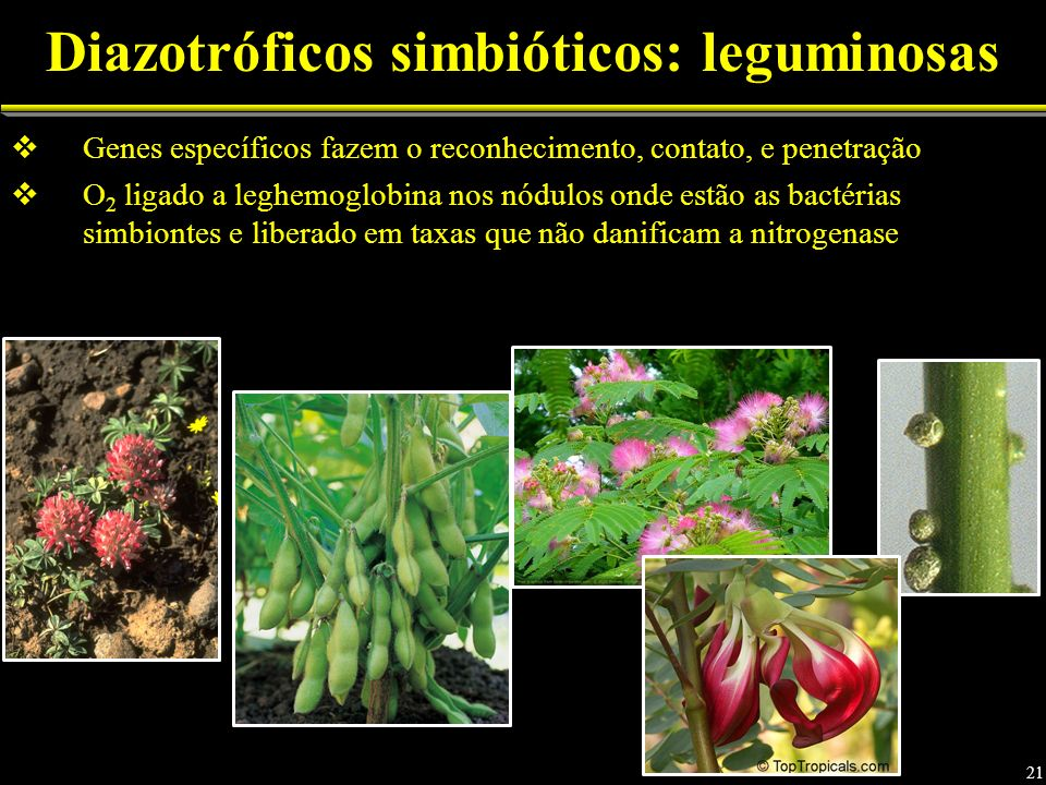 Diazotróficos simbióticos: leguminosas