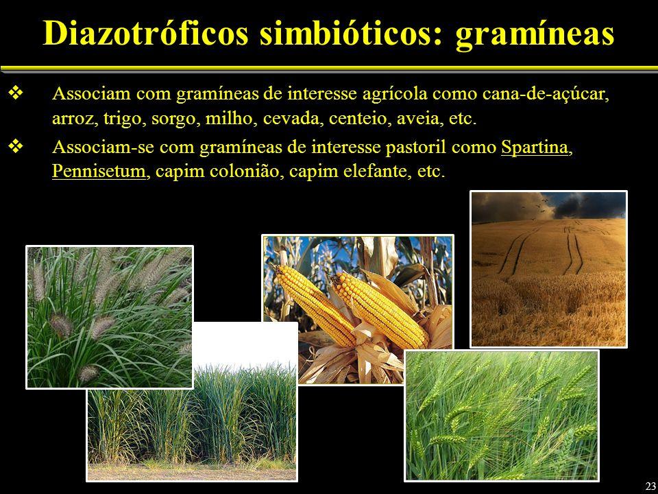 Diazotróficos simbióticos: gramíneas