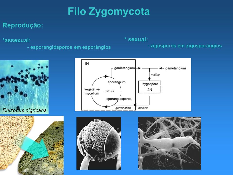Filo Zygomycota Reprodução: *assexual: * sexual: