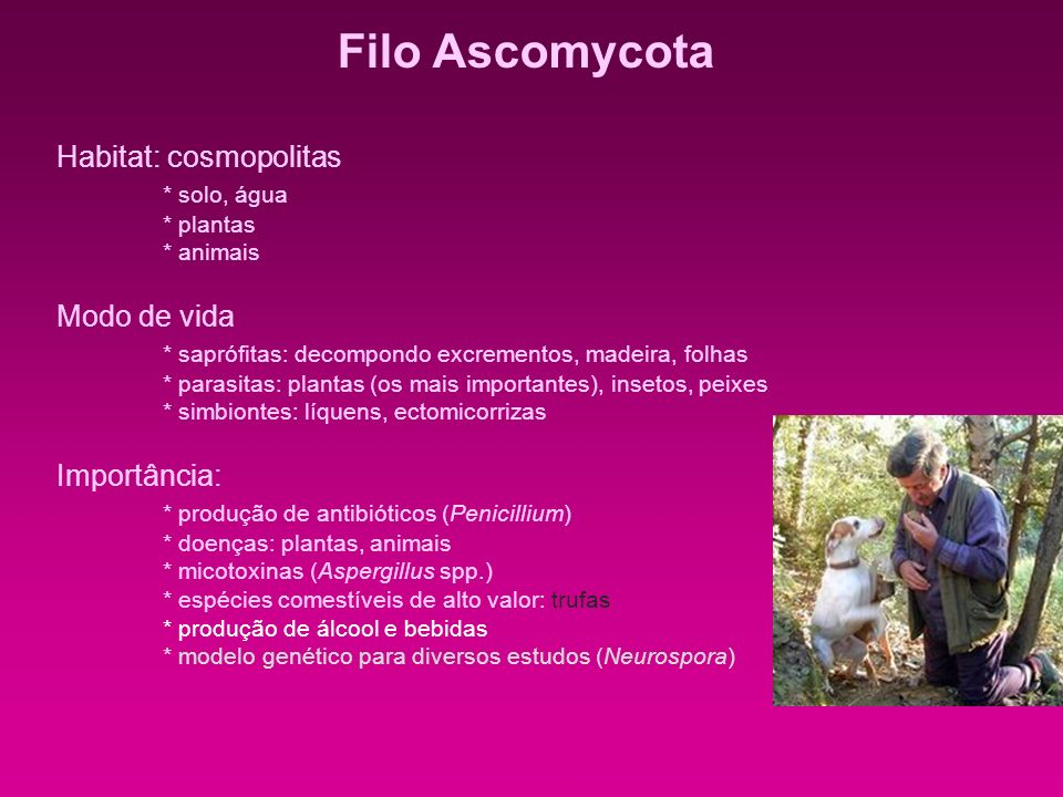 Filo Ascomycota Habitat: cosmopolitas * solo, água Modo de vida