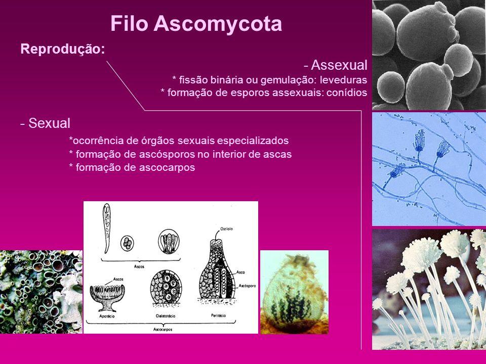 Filo Ascomycota Reprodução: - Assexual - Sexual