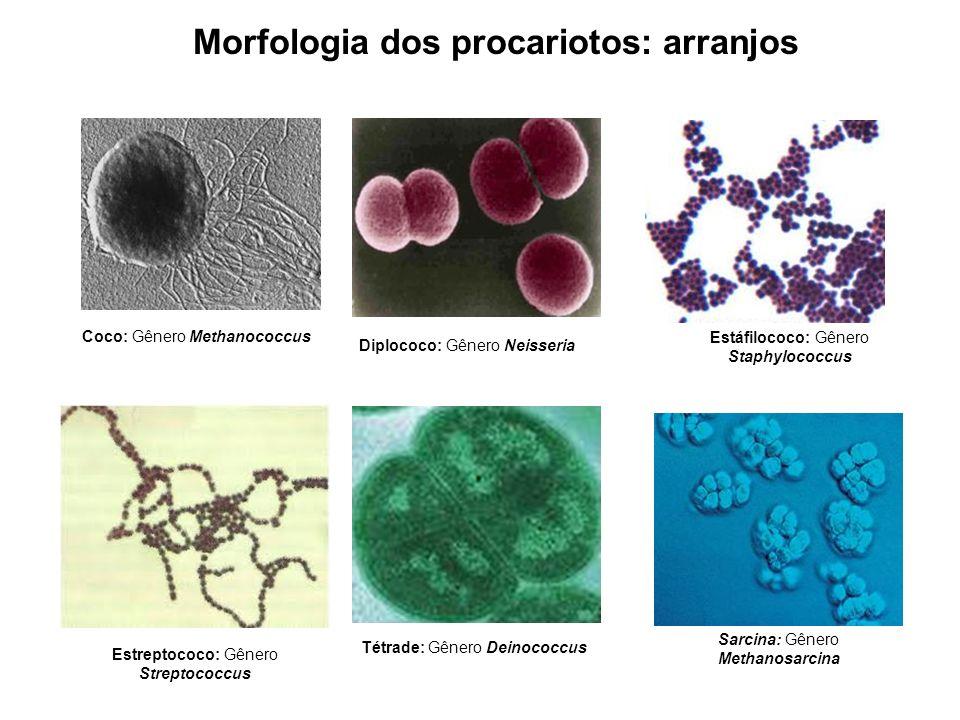 Morfologia dos procariotos: arranjos