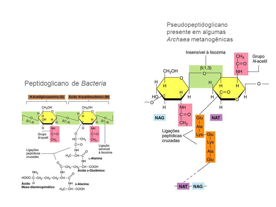 Peptidoglicano de Bacteria