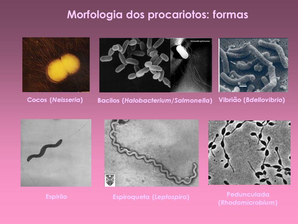 Morfologia dos procariotos: formas