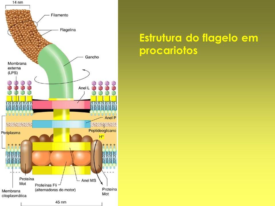 Estrutura do flagelo em