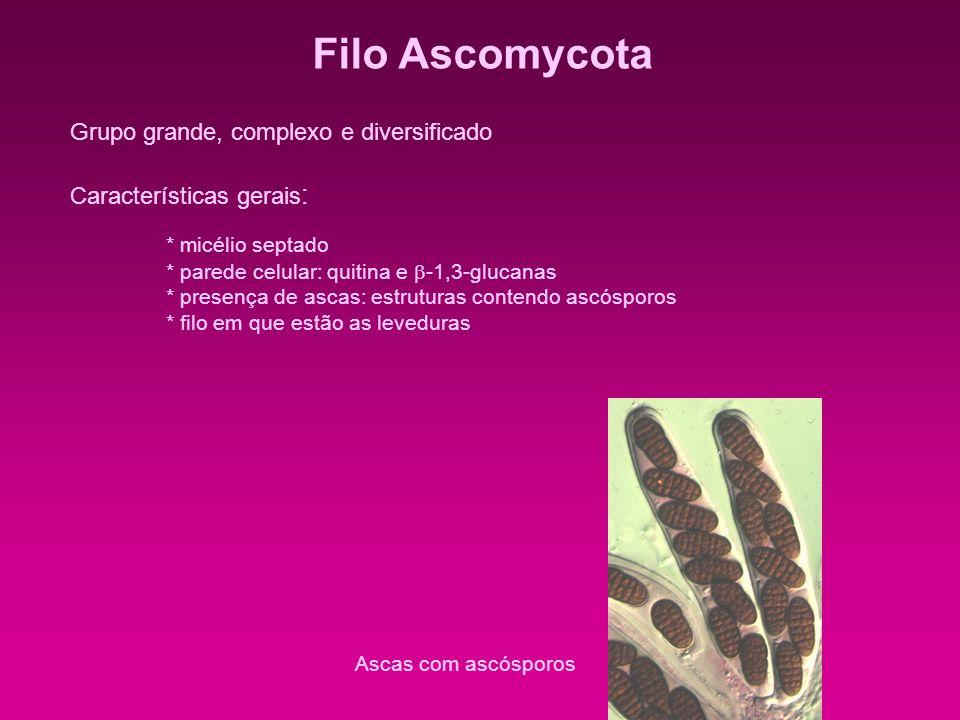 Filo Ascomycota * micélio septado