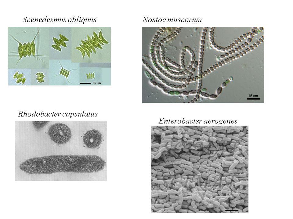 Scenedesmus obliquus Nostoc muscorum Rhodobacter capsulatus Enterobacter aerogenes