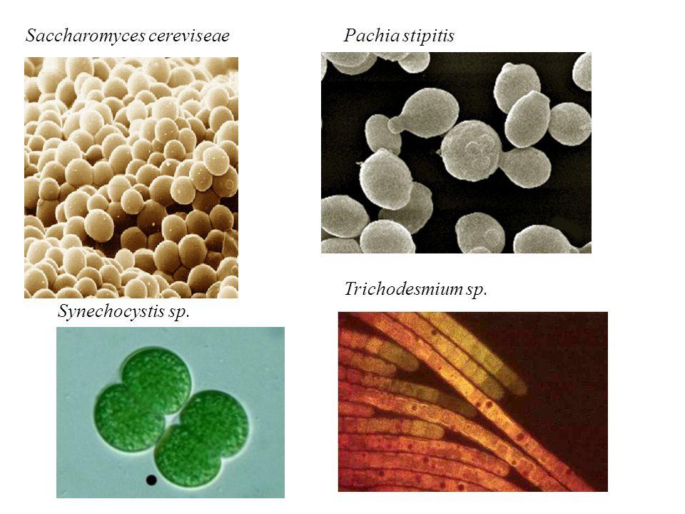 Saccharomyces cereviseae