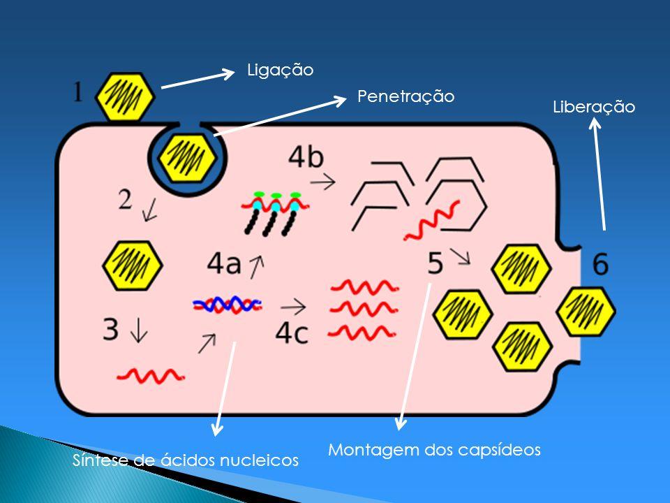 Ligação Penetração Liberação Montagem dos capsídeos Síntese de ácidos nucleicos