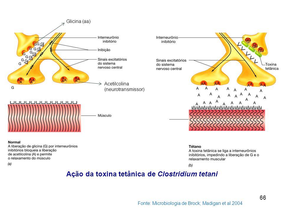 Ação da toxina tetânica de Clostridium tetani
