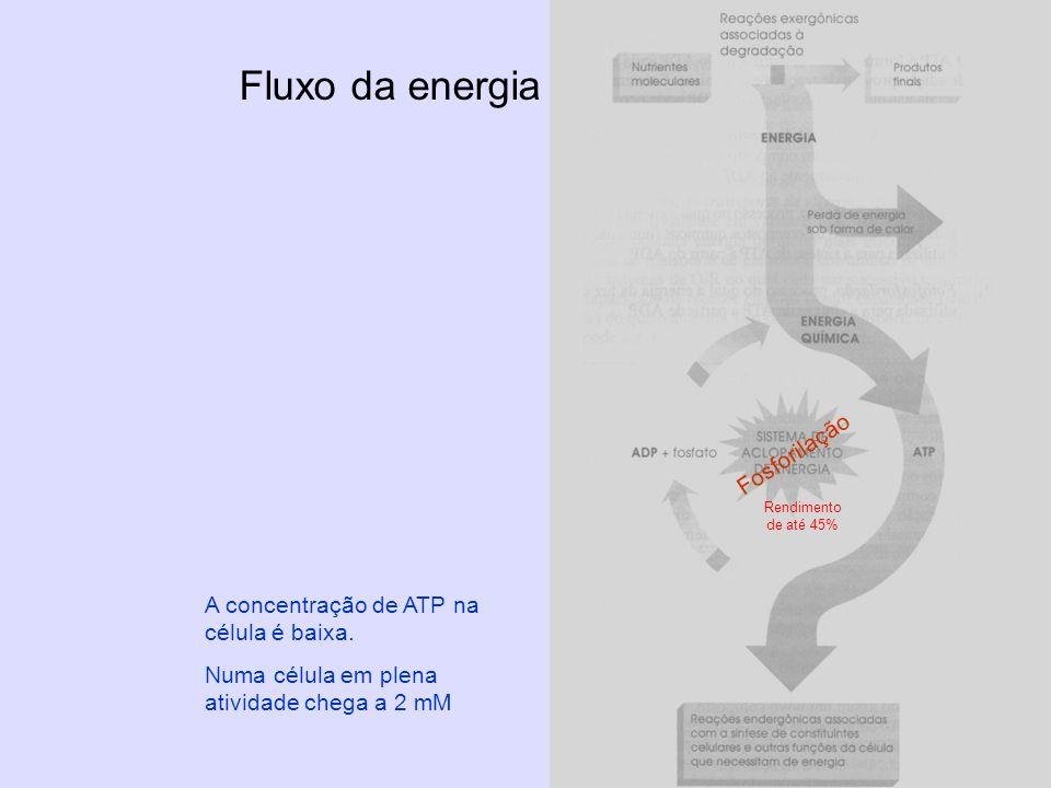 Fluxo da energia Fosforilação A concentração de ATP na célula é baixa.