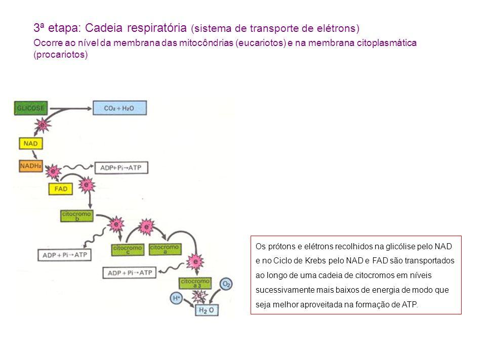 3ª etapa: Cadeia respiratória (sistema de transporte de elétrons)