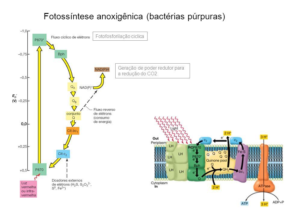 Fotossíntese anoxigênica (bactérias púrpuras)