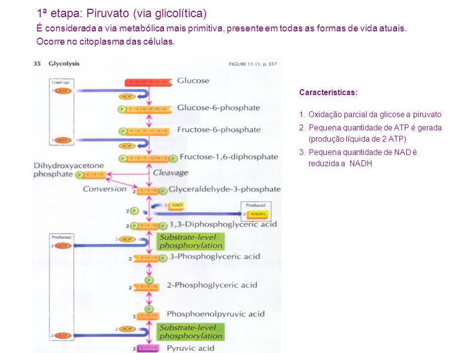 1ª etapa: Piruvato (via glicolítica)