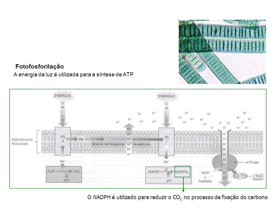 Fotofosforilação A energia da luz é utilizada para a síntese de ATP