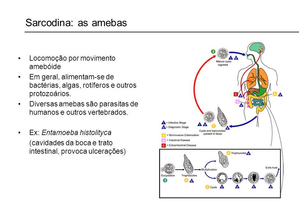 Sarcodina: as amebas Locomoção por movimento amebóide