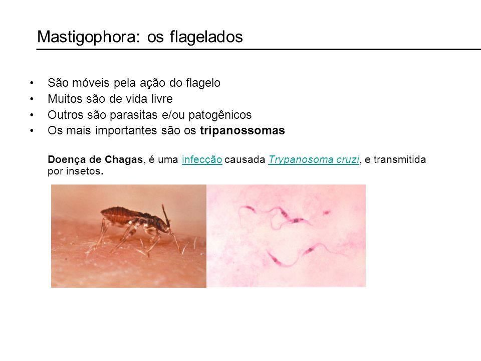 Mastigophora: os flagelados
