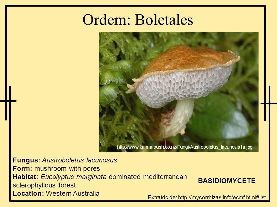Ordem: Boletales http://www.kaimaibush.co.nz/Fungi/Austroboletus_lacunosis1a.jpg.