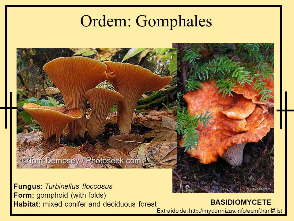 Ordem: GomphalesFungus: Turbinellus floccosus Form: gomphoid (with folds) Habitat: mixed conifer and deciduous forest.