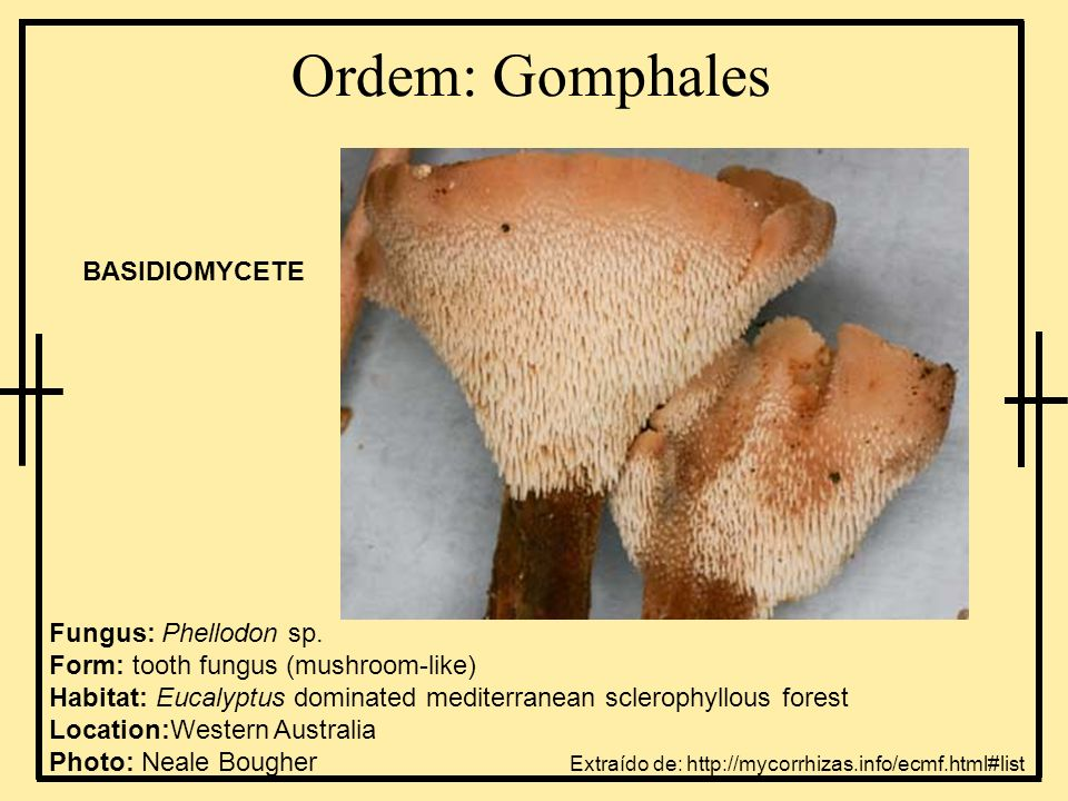 Ordem: Gomphales BASIDIOMYCETE