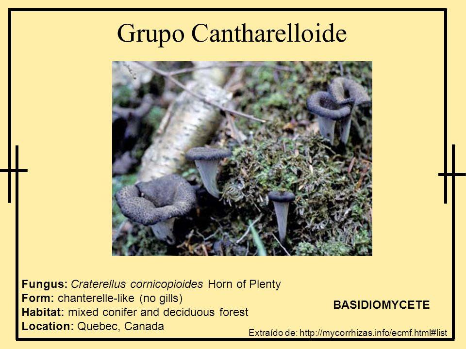 Grupo Cantharelloide