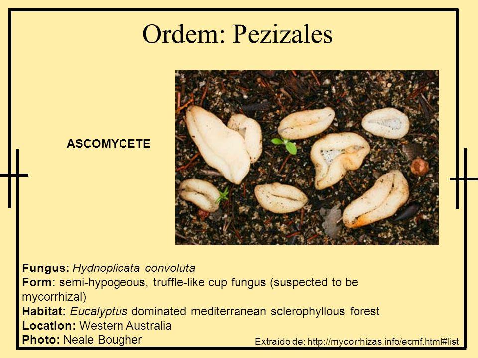 Ordem: Pezizales ASCOMYCETE