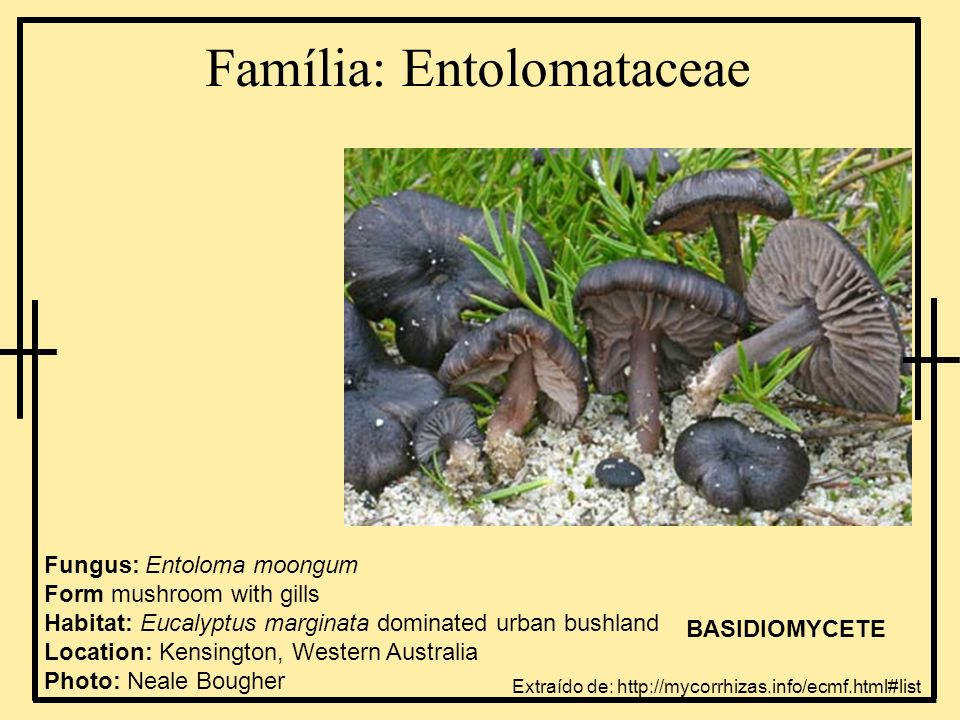 Família: Entolomataceae