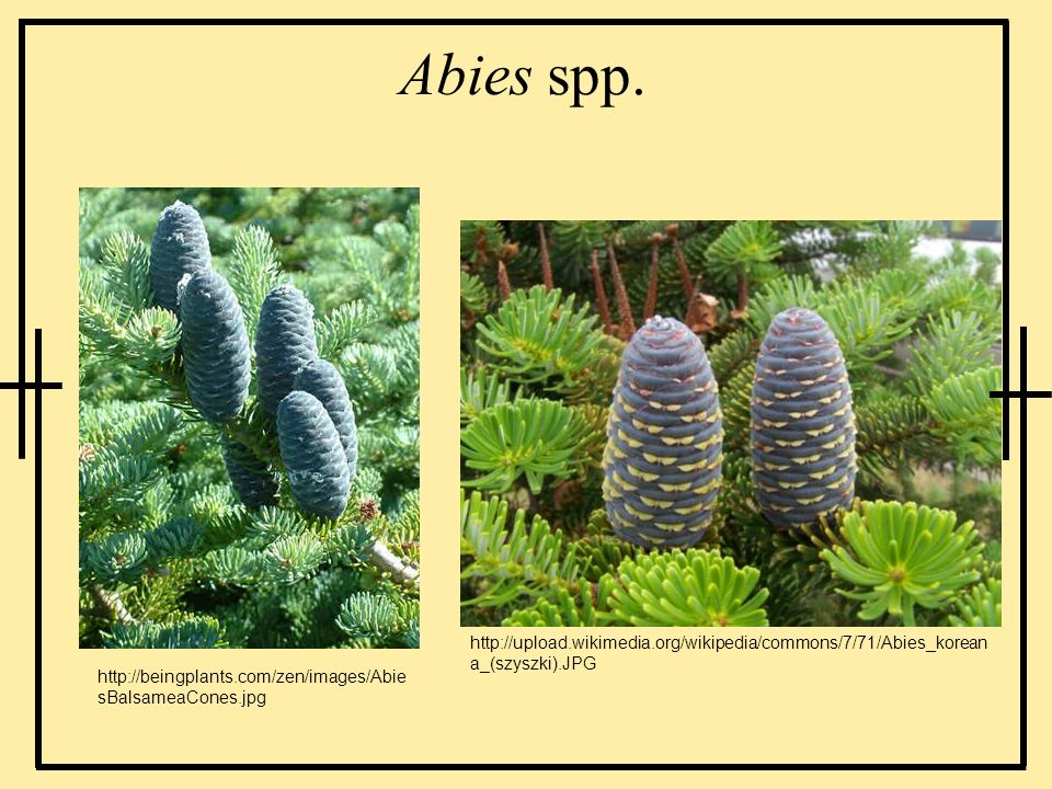 Abies spp. http://upload.wikimedia.org/wikipedia/commons/7/71/Abies_koreana_(szyszki).JPG.