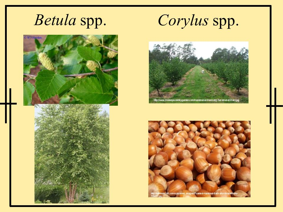 Betula spp. Corylus spp. http://www.mooseyscountrygarden.com/hazelnut-orchard/dog-hazelnut-orchard.jpg.