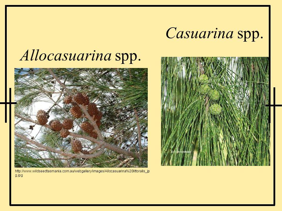 Casuarina spp. Allocasuarina spp.