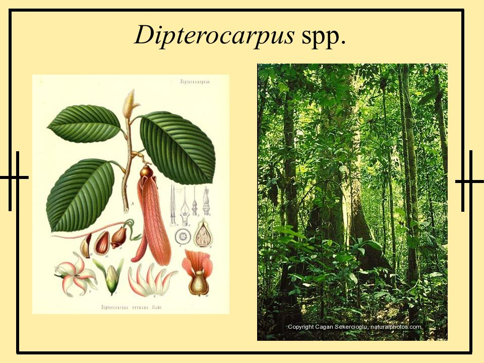 Dipterocarpus spp.