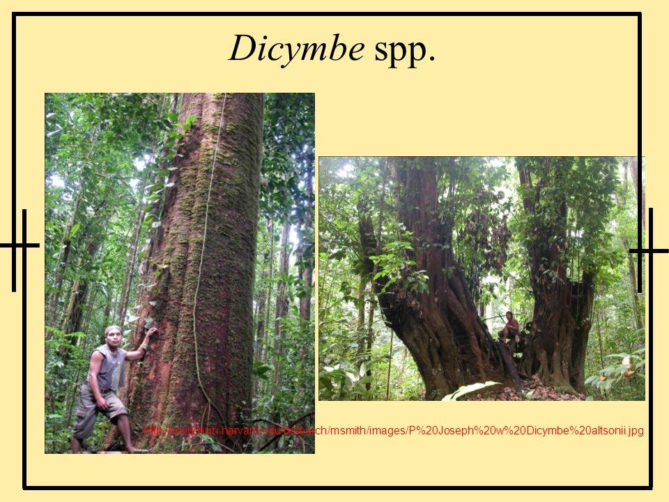 Dicymbe spp.