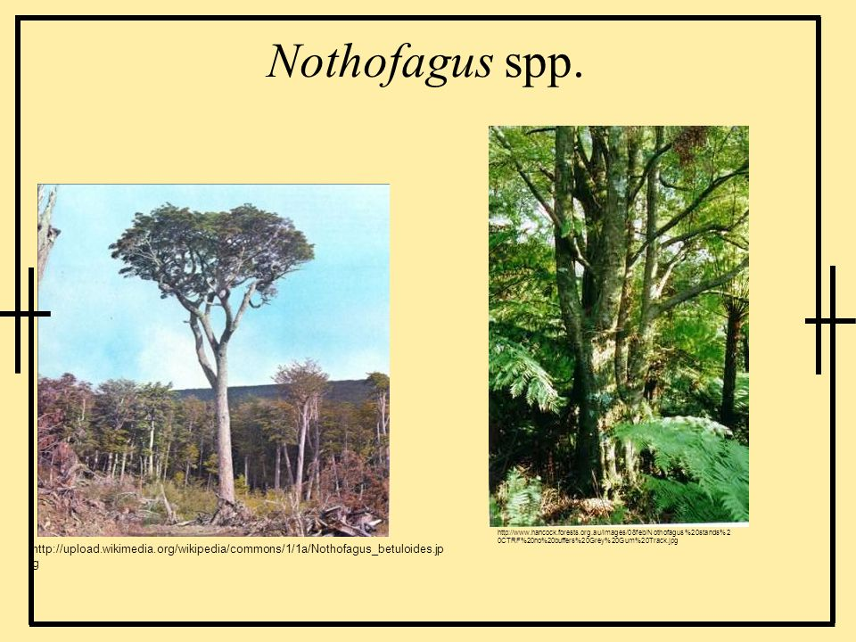 Nothofagus spp. http://www.hancock.forests.org.au/images/08feb/Nothofagus%20stands%20CTRF%20no%20buffers%20Grey%20Gum%20Track.jpg.