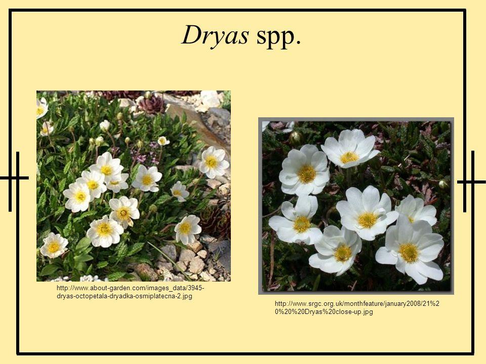 Dryas spp. http://www.about-garden.com/images_data/3945-dryas-octopetala-dryadka-osmiplatecna-2.jpg.