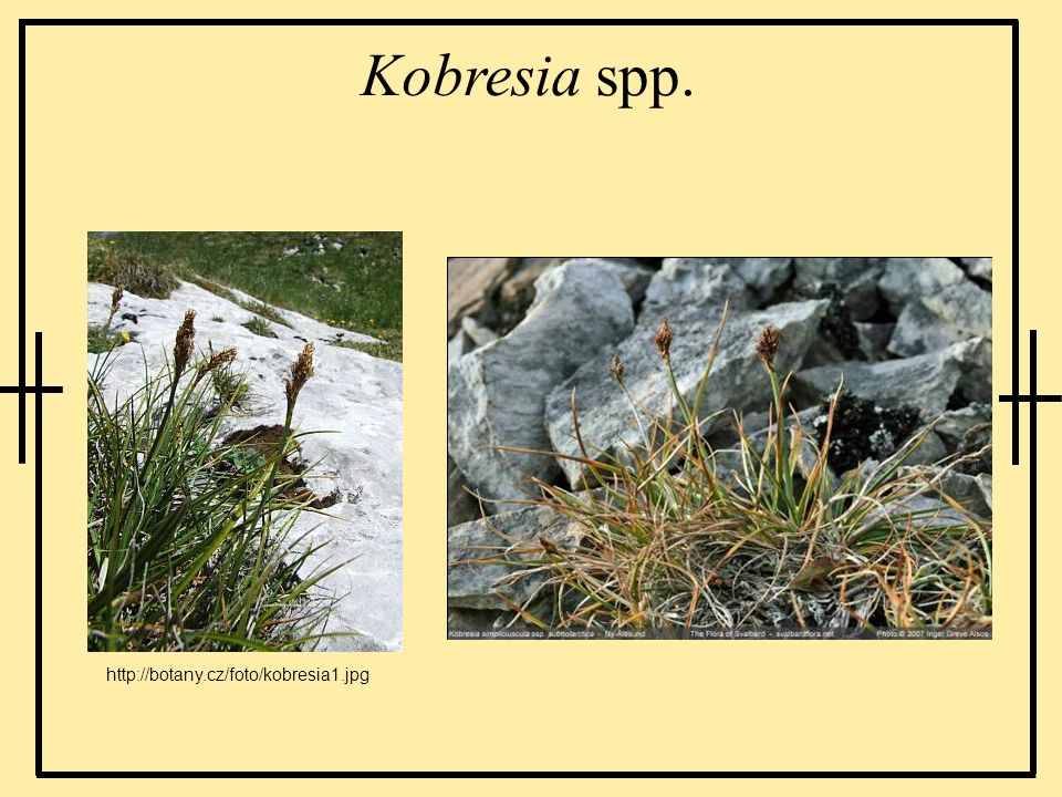 Kobresia spp. http://botany.cz/foto/kobresia1.jpg