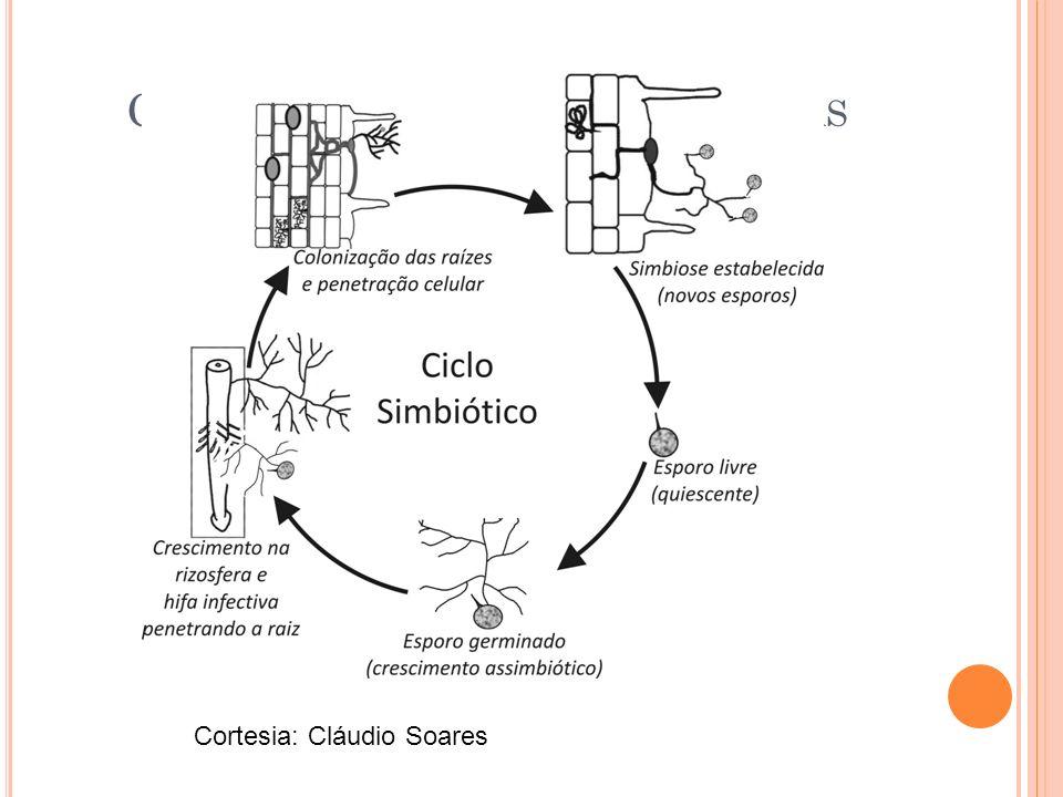 Ciclo simbiótico endomicorrizas
