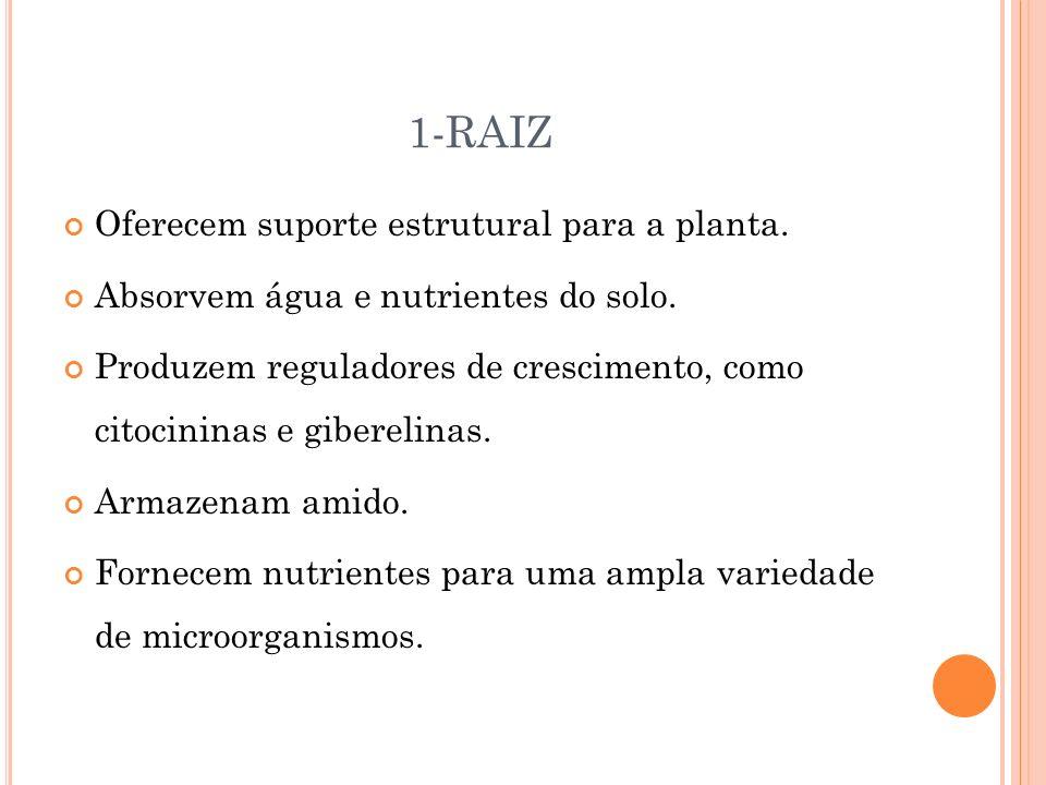 1-RAIZ Oferecem suporte estrutural para a planta.