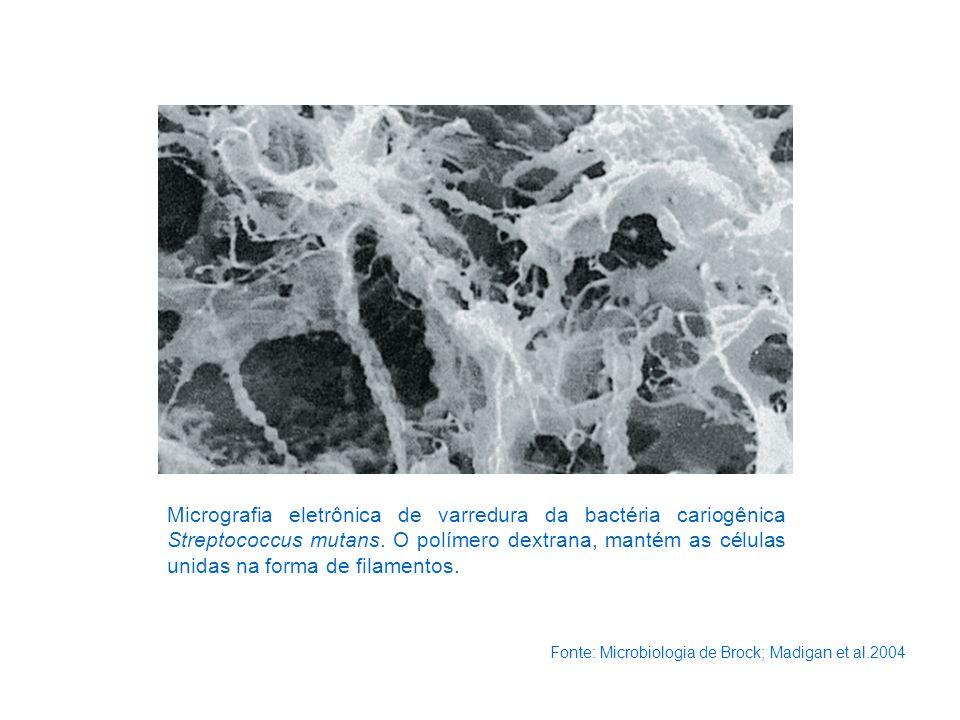 Micrografia eletrônica de varredura da bactéria cariogênica Streptococcus mutans. O polímero dextrana, mantém as células unidas na forma de filamentos.
