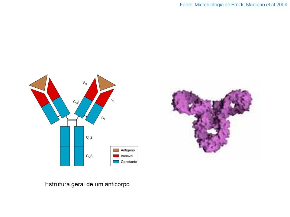 Estrutura geral de um anticorpo