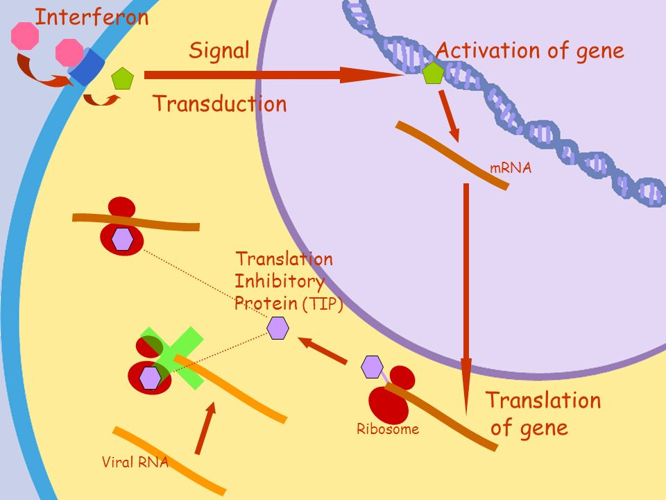 Interferon Signal Transduction Activation of gene Translation of gene