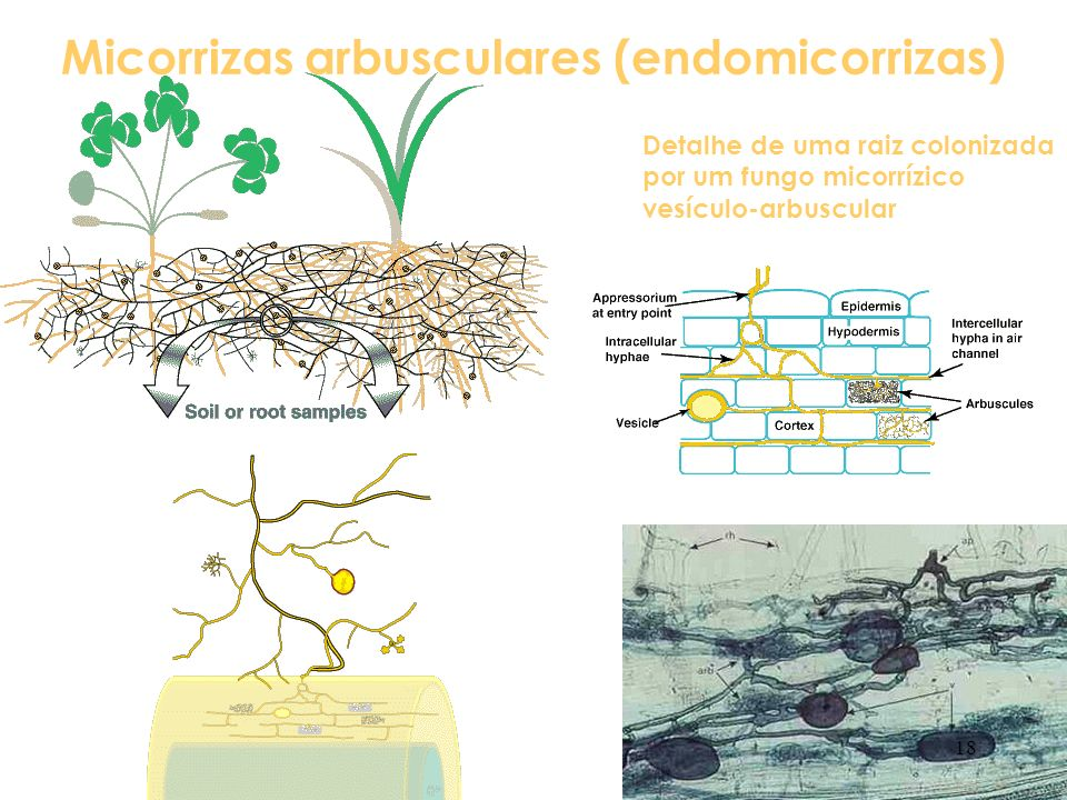 Micorrizas arbusculares (endomicorrizas)