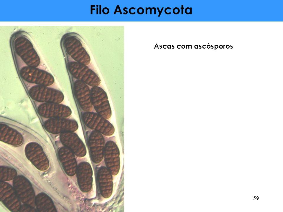 Filo Ascomycota Ascas com ascósporos