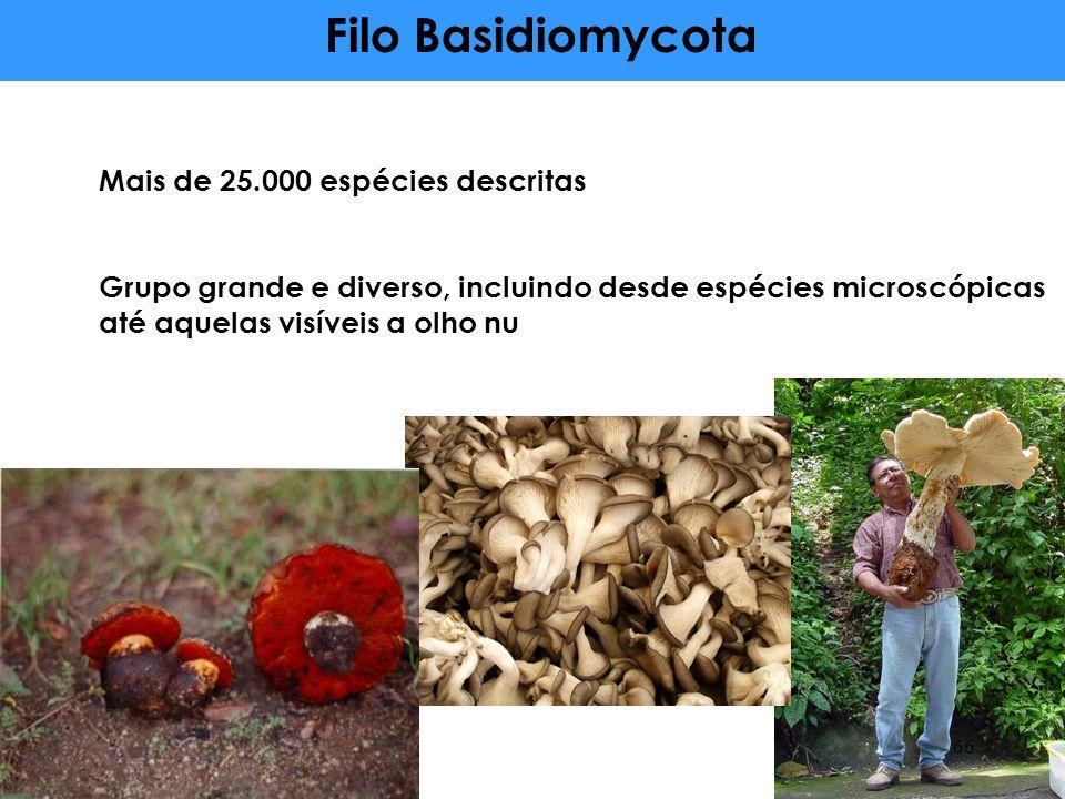 Filo Basidiomycota Mais de 25.000 espécies descritas
