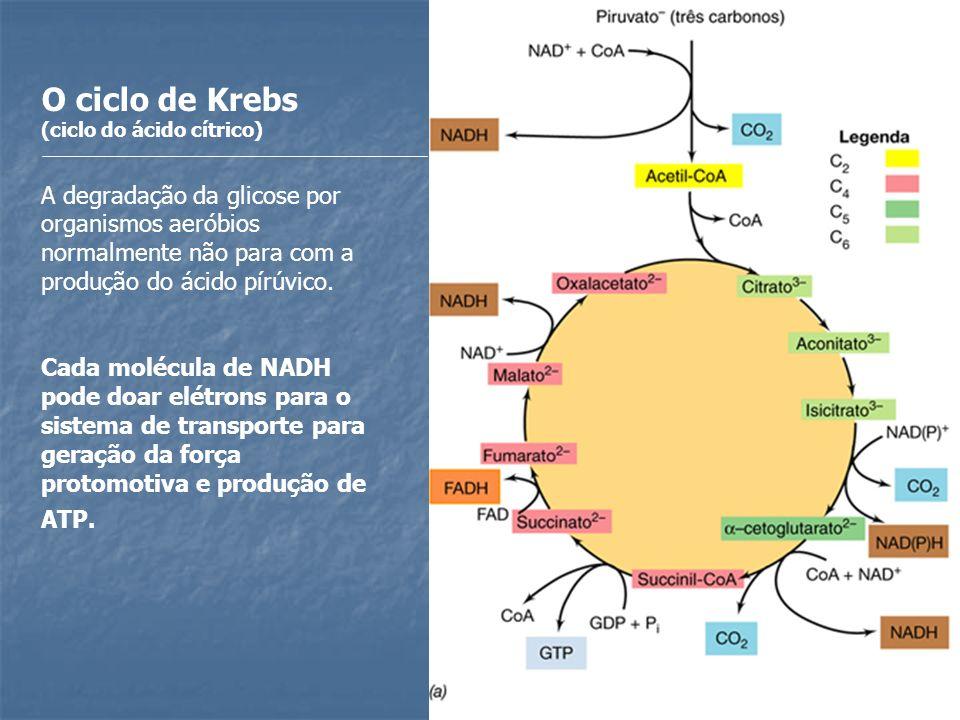 O ciclo de Krebs (ciclo do ácido cítrico) A degradação da glicose por organismos aeróbios normalmente não para com a produção do ácido pírúvico.