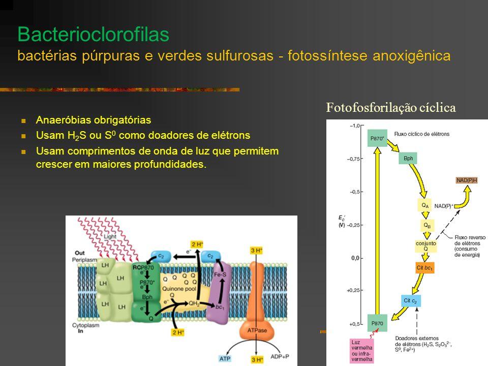 Bacterioclorofilas bactérias púrpuras e verdes sulfurosas - fotossíntese anoxigênica