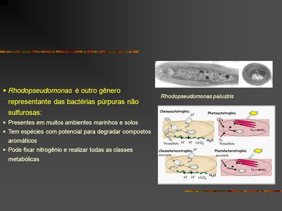 Rhodopseudomonas é outro gênero representante das bactérias púrpuras não sulfurosas:
