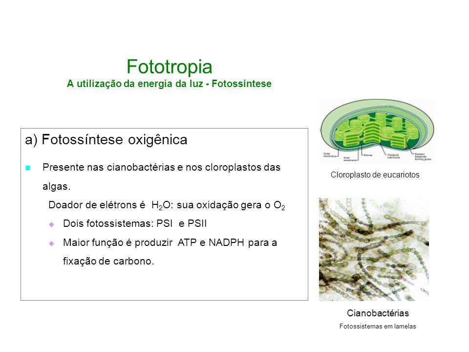 Fototropia A utilização da energia da luz - Fotossíntese
