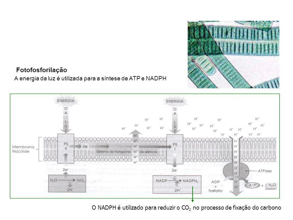 Fotofosforilação A energia da luz é utilizada para a síntese de ATP e NADPH.