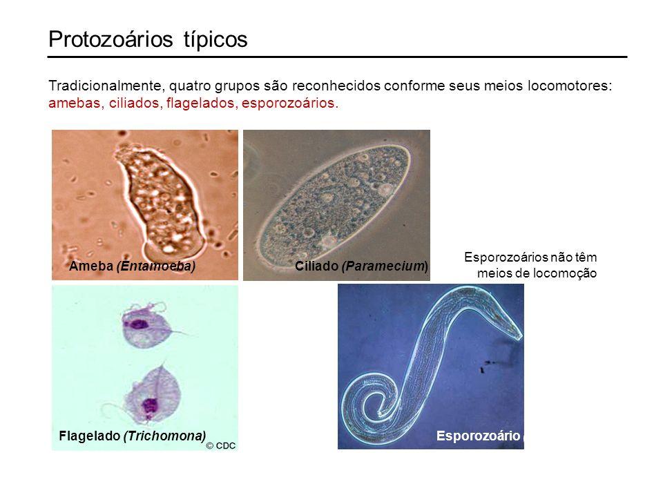 Protozoários típicos Tradicionalmente, quatro grupos são reconhecidos conforme seus meios locomotores: amebas, ciliados, flagelados, esporozoários.